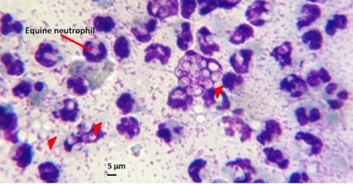 Light micrograph of a pus impression smear from an EZL case horse stained with Giemsa and examined for the presence of Histoplasma yeast cells. The impression smear of pus aspirated from an unruptured subcutaneous nodule was viewed at ×1,000 magnification. Arrowheads, clusters of ovoid to lemon-shaped yeast cells (diameter, 4 to 5 μm) with a characteristic refractive cell wall. For comparison, an equine neutrophil is approximately 12 to 15 μm in diameter.