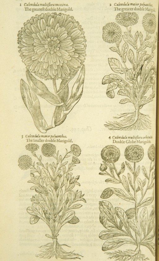 <p>Four separate woodcuts of varieties of the marigold, showing the stalks, leaves, flowers, and roots.</p>