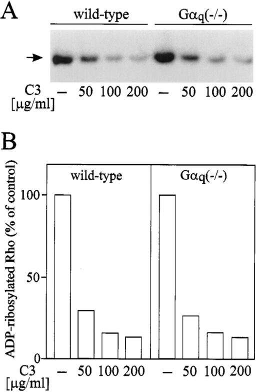 ADP ribosylation  of Rho in C3-treated platelets. (A) Platelets from wild-type and Gαq-deficient animals were preincubated for 2 h  in the absence (−) or presence of the indicated concentrations of C3 exoenzyme.  Thereafter, platelets were  lysed and subjected to C3-exoenzyme catalyzed (32P)  ADP ribosylation as described under Materials and  Methods. Shown is an autoradiogram with the position  of the 21-kD standard protein on the left. (B) Densitometric evaluation of bands  shown in A. Bars represent  mean of two independent experiments as percent of control.