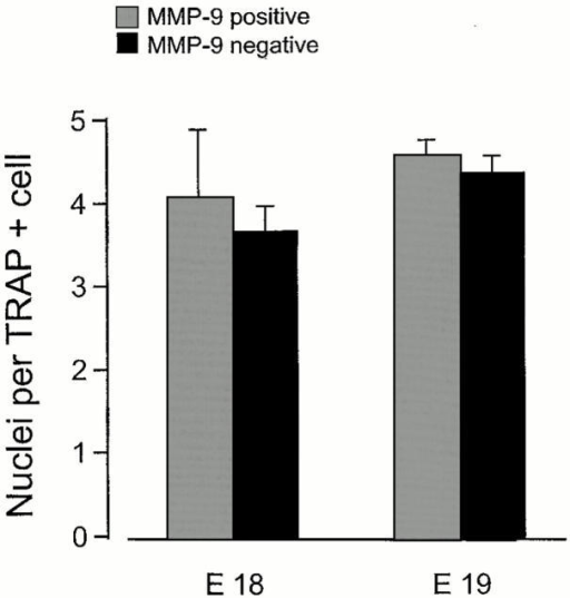 Effect of MMP-9 deficiency on number of nuclei per TRAP+ cell. The number of nuclei per TRAP+ cell were calculated from the counts of cells and nuclei shown in Fig. 5, and are shown as mean ± SD.
