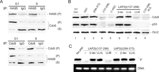Dissociation of HA95 from HA95-NBD in G1 elicits degradation of Cdc6. (A) HA95 (top three panels) or Cdc6 (bottom three panels) was immunoprecipitated from G1- or S-phase HeLa cells, and immune precipitates (P) and supernatants (S) were immunoblotted using either precipitating antibody. (B) Nuclei from G1-phase cells (lane 1) or G1 nuclei loaded with the indicated GST–LAP2β peptides (lanes 2–5) and incubated in nuclear isolation buffer for 1 h were immunoblotted using the indicated antibodies. In lanes 6–8, G1 nuclei loaded with LAP2β(137–298) were incubated in buffer for 1 h together with 25 μM β-lactone, LLnL, or LLM. In lane 9, whole samples (WS; nuclei + buffer) were immunoblotted. (C) G1 nuclei were loaded with GST–LAP2β(137–298) or GST–LAP2β(299–373) in the presence of no inhibitor (−), β-lactone, LLnL, or LLM. Nuclei were allowed to replicate in S-phase extract containing [α32P]dCTP, and synthesized DNA was analyzed by autoradiography.