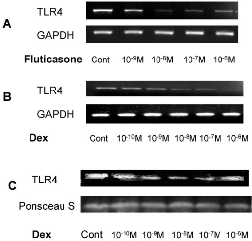Corticosteroids downregulate TLR4 expression in respiratory epithelial cells. A549 cells (3 × 105) were seeded onto 6-well plates and grown to confluence. Cells were washed, placed in low serum (1% FCS) medium and were left untreated or incubated with fluticasone propionate or dexamethasone over the dose ranges 10-9 to 10-6 Molar for 16 hours. A & B. Total RNA was extracted, reverse transcribed into cDNA and used as a template in PCR reactions using, TLR4 and GAPDH gene-specific primers. Products were electrophoresed in 1.5% TBE agarose gels containing 0.5 μg/ml ethidium bromide and visualised under UV. Gels are representative of three independent experiments. C. Western blot analysis of membrane extracts (10 μg) from A549 cells probed with an anti-TLR4 or anti-Actin antibody. Equal protein loading and transfer efficiency was confirmed by Ponceau S staining. Data are representative of three separate experiments.