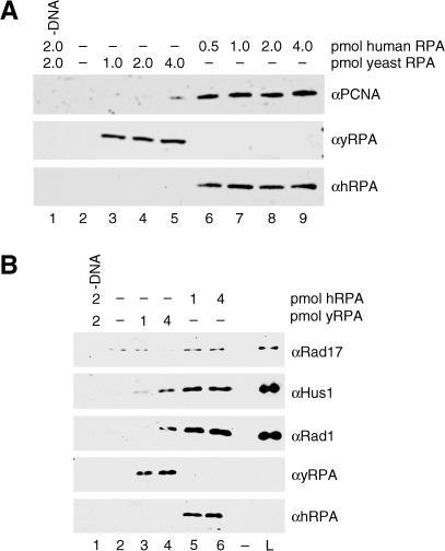 PCNA and RHR Loading Are Specifically Stimulated by Human RPAIn both (A) and (B), lanes represent loading reactions performed as described in the Materials and Methods with either 5′ recessed or 3′ recessed primer–template DNA–RPA complex bound to beads, and recovery of proteins with the beads was analyzed by Wb for the indicated proteins. In (A), PCNA loading was assayed in the absence of RPA (lane 2) or in the presence of the indicated amounts of either yeast RPA (lanes 3–5) or human RPA (lanes 6–9). All reactions contained 3′ recessed primer–template DNA (except for that in lane 1), 2 pmol of PCNA, 0.25 pmol of RFC, and ATP. In (B), RHR loading was assayed in the absence of RPA (lane 2) or in the presence of the indicated amounts of either yeast RPA (lanes 3 and 4) or human RPA (lanes 5 and 6). All reactions contained 5′ recessed primer–template DNA (except for that in lane 1), 1 pmol of RHR complex, 0.25 pmol of RSR, and ATP.