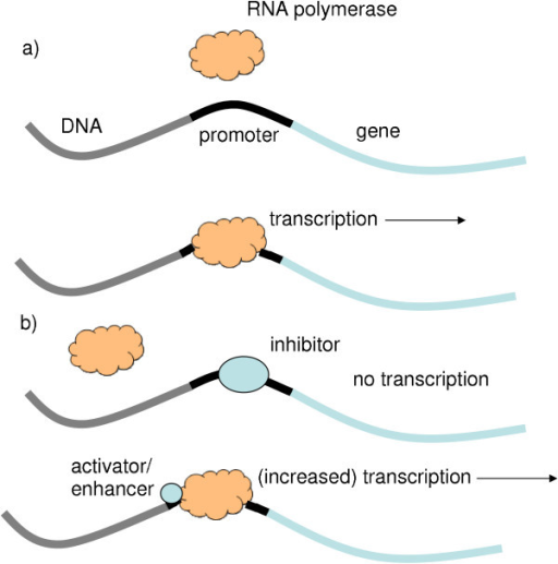 Diagram Showing The Process Of Transcription A The Rn Open I
