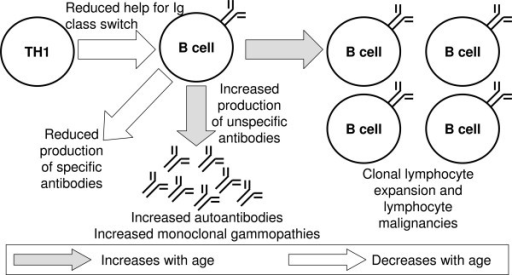 Disturbed B-cell function in ageing. In general, the nu | Open-i