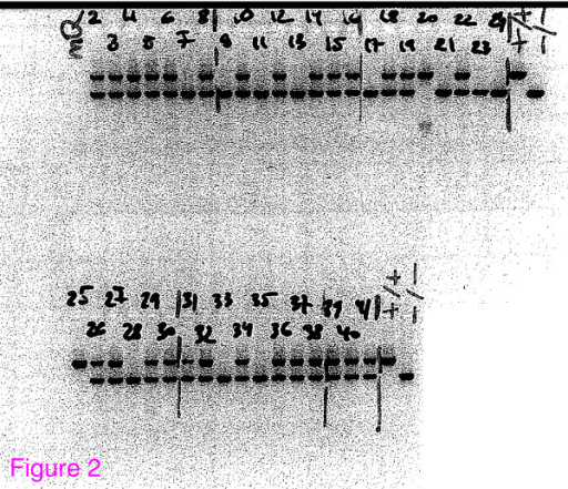 Gel electrophoresis of PCR product to genotype wfs1 targeting products. Mice were genotyped by multiplex PCR for both alleles using primers Wfs1KO_wf2 5' TTGGCTTGTATTTGTCGGCC 3', NeoR1 5' GACCGCTATCAGGACATAGCG 3' and WfsKO_uniR2 5' CCCATCCTGCTCTCTGAACC 3'. The upper band is for the wild-type allele; the lower band is for the mutant allele. The presence of two bands indicates a heterozygous mutant mouse.