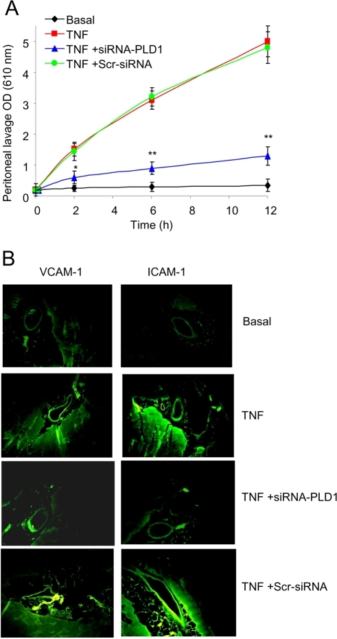 TNFα-induced vascular permeability and VCAM-1 and ICAM-1 expression in peritoneal tissues is dependent on PLD1.(A) Peritoneal lavage was collected, and the OD was measured, from mice: untreated following the i.p. injection of PBS (Basal); following the i.p. injection of TNFα (TNF); following the i.p. injection of TNFα in mice pretreated with the siRNA-PLD1 (TNF +siRNA-PLD1); following the i.p. injection of TNFα in mice pretreated with the scrambled siRNA (TNF +Scr-siRNA). Data showed as means ± SD of triplicate measurements from three different experiments. Student's t test p values (*p<0.05, **p<0.01). Six mice were used per treatment group per experiment. (B) VCAM-1 and ICAM-1 expression pattern using immunohistochemistry in peritoneal tissues after 2 h of TNFα administration. The panels indicate the peritoneal tissues from control mice (Basal); from mice injected with TNFα (TNF); from mice pretreated with the siRNA-PLD1 prior to TNFα administration (TNF+siRNA-PLD1); and from mice pretreated with the scrambled siRNA prior to TNFα administration (TNF+Scr-siRNA). Results shown are representative of three different experiments and of multiple sections and fields.