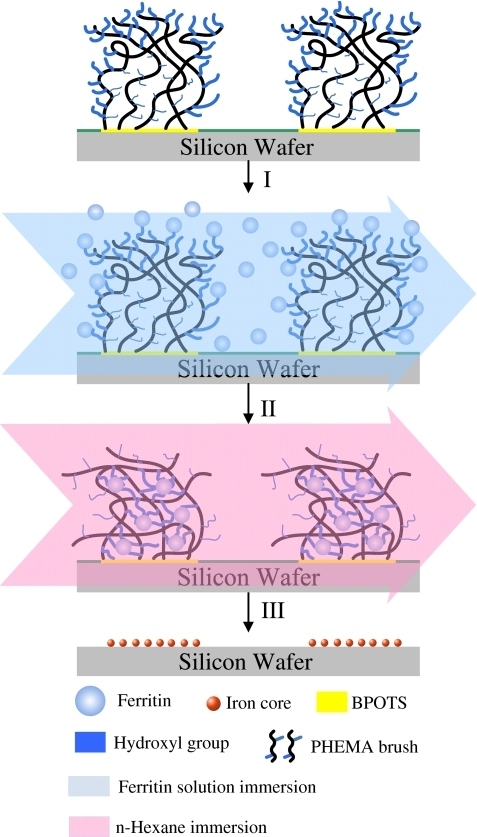Schematic representation of the strategy for ferritin capture. (I) The sample surface presenting the patterned PHEMA brushes is immersed for 1 h into a mixture of water and MeOH containing dispersed ferritin. (II) The sample surface is immersed into n-hexane to transform it from a brush-like to a mushroom-like structure, with the OH groups of the PHEMA brushes becoming buried within the PHEMA thin film to form hydrophilic domains. (III) The ferritin species on the PHEMA thin-film surface are removed through degradation of the protein sheath under O2 in an oven at approximately 500 °C to observe the ferrihydrite cores
