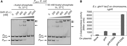 Phosphorylation increases activity of response regulator GlrR. (A) Effect of acetyl phosphate on the DNA binding activity of GlrR as revealed by EMSA. EMSAs were performed using purified E. coli GlrR and the E. coli glmY promoter fragment. To test the possible effect of phosphorylation on GlrR activity, the protein was pre-incubated at 37°C for 1 h in the absence (left panel) or presence (right panel) of 50 mM acetyl phosphate before continuing with the EMSA protocol. (B) A glutamate replacement of the phosphorylation site Asp56 in GlrR strongly up-regulates glmY expression. E. coli strain Z206 carrying a ΔglrR mutation and the E. coli glmY'-lacZ fusion on the chromosome was complemented with plasmids carrying E. coli wild-type glrR (pBGG389, column 2), glrR-D56A (pBGG398, column 3), glrR-D56E (pBGG399, column 4) or no gene (pBAD33, column 1) under PAra promoter control. Subsequently, the β-galactosidase activities were determined from these transformants.