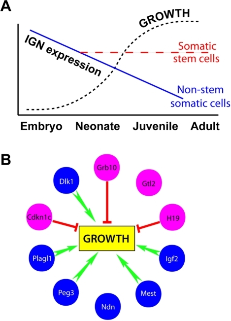 Models of IGN during development.(A) IGN members are highly expressed during embryogenesis but are downregulated in whole tissue as growth proceeds, while their expression is maintained in adult stem cell compartments. (B) Representation effects of the IGN on growth. Maternally expressed genes are depicted in pink and paternally expressed genes in blue. Overall effect on growth as determined by transgenic or knockout animal models is shown in green (promotion) or red (inhibition).