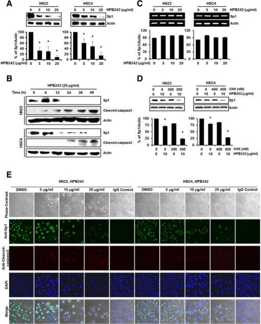 The effect of HPB242 on specificity protein 1 (Sp1) protein expression in HN22 and HSC4 cells. HN22 and HSC4 cells were incubated with different concentrations of HPB242 for 48 hours. The cells were harvested and prepared for western blots as described under Methods. Protein expression levels of Sp1 were detected using a specific antibody against Sp1, and its levels were quantified after actin normalization. (A) The HPB242-treated cells were compared with untreated cells, and data are shown as the means ± SD of three independent experiments. The asterisk indicates a significant difference compared with the negative control (untreated cells) (*p < 0.05). (B) Time-dependent effects of HPB242 on Sp1 and Cleaved-caspase3 expression were performed in HN22 and HSC4 cells for 48 hours with 6 hours intervals. (C) The effect of HPB242 (0–20 μg/ml) for 48 hours on Sp1 mRNA expression was determined by RT-PCR. The graphs indicate the ratio of Sp1 to β-actin expression. (D) The effect of HPB242 on Sp1 protein turnover in HN22 and HSC4 cells. The protein lysates were obtained from cells pretreated with protein synthesis inhibitor such as cycloheximide (CHX) for 2 hour and then exposed to HPB242 for 48 hours. The protein expression of Sp1 was analyzed by western blot analysis. (E) Immunocytochemistry analysis was performed in HPB242 treated HN22 and HSC4 cells. HN22 and HSC4 cells were treated with different concentrations of HPB242 for 48 hours, and cells were immunostained with Sp1 specific antibody, Cleaved-caspase3 specific antibody, and then signals were detected with Jackson 488- and 647-conjugated anti-mouse secondary antibody. DAPI was used for nucleus staining. 254×190 mm (96 × 96 DPI).