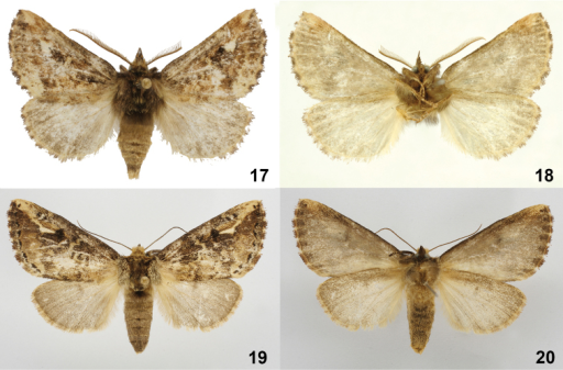 Symmerista minaei17, 18 Paratype male dorsal and ventral INB0003387642 19, 20 Holotype female dorsal and ventral INB0003339208.