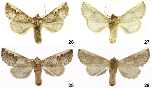 Symmerista aura26, 27 Paratype male dorsal and ventral INBIOCRI002442681 28, 29 Paratype female dorsal and ventral INBIOCRI002549508.