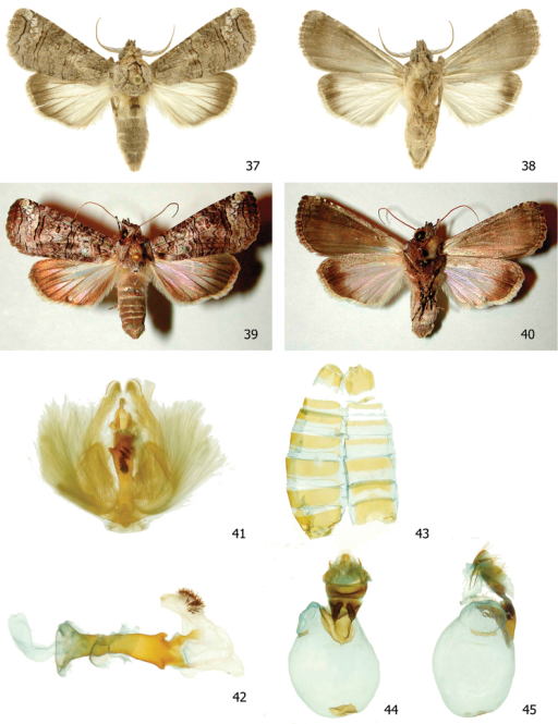 Elymiotis tlotzin37, 38 Male dorsal and ventral INBIOCRI002426620 39, 40 Female dorsal and ventral 96-SRNP-1332 41 Male genitalia INBIOCRI002426620 42 Phallus 43 Male St8 44, 45 Female genitalia INBIOCRI006744401.