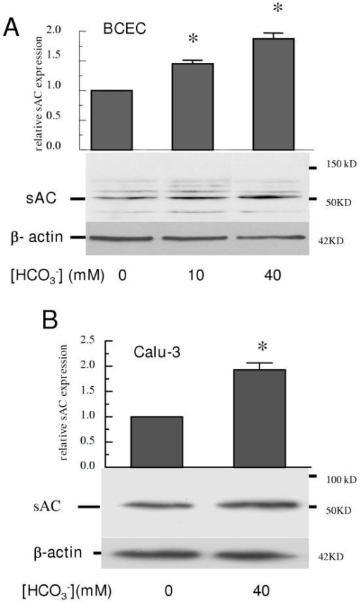 HCO3--induced up-regulation of sAC protein expression. Cells were starved for HCO3- in HCO3--free DMEM for 48 hours at 37°C, followed by 24-hour incubation in DMEM with different [HCO3-] at 37°C. Cell lysates (60 μg/lane) were separated and transferred to a polyvinylidene fluoride (PVDF) membrane. The membrane was probed with mouse anti-human monoclonal sAC primary antibody, then rinsed and reprobed using mouse anti-human β-actin antibody. A: blots of sAC protein expression and β-actin from BCECs exposed to 0, 10 or 40 mM HCO3-. Band density of sAC expression shown in the bar graph is relative to 0 HCO3-. B: blots of sAC protein expression and β-actin from Calu-3 cells exposed to 0 and 40 mM HCO3-. Band density of sAC expression shown in the bar graph is relative to 0 HCO3-. Error bar indicates ± SE. *different from 0 HCO3- (n = 3, p < 0.05).