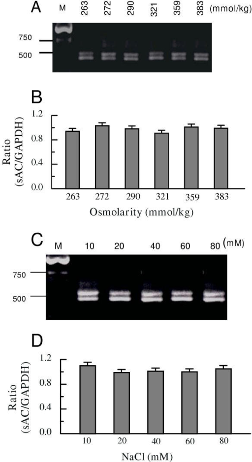 The effects of bath osmolarity and additional [NaCl] on sAC expression. RT-competitive PCR was performed using specific sAC primers and GAPDH internal standard primers from cultured BCECs. A: RT-competitive PCR of sAC mRNA from cultured BCECs exposed to different osmolarity (sucrose added). From left to right: M: Marker; osmolarity: 263, 272, 290, 321, 359, 383 (mmol/kg). B: summary of the ratios of band densities (sAC/GAPDH) from A. Error bar indicates ± SE (n = 3). C: RT-competitive PCR of sAC mRNA from cultured BCECs exposed to different [NaCl]. From left to right: M: Marker; [NaCl]: 10, 20, 40, 60, 80 (mM). D: summary of the ratios of band densities (sAC/GAPDH) from C. Error bar indicates ± SE (n = 3).
