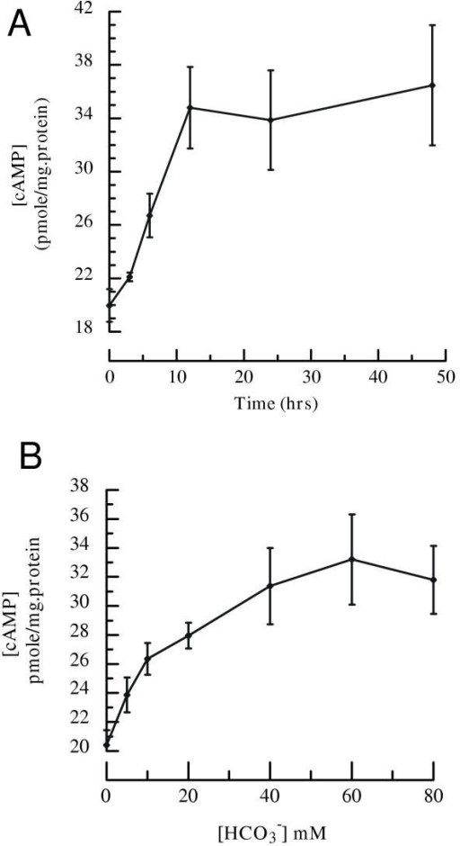 The effects of HCO3--regulated sAC expression on intracellular cAMP accumulation. Culture medium was removed from confluent cultured BCECs and replaced with HCO3--free DMEM for 48 hours at 37°C. Cells were then incubated either for different time in 40 mM HCO3- DMEM or for 24 hours in different [HCO3-] at 37°C. Cells were lysed in 0.1 N HCl. [cAMP] was measured by enzyme immunoassay. A: changes in intracellular [cAMP] from cells exposed to 40 mM HCO3- with 0, 3, 6, 12, 24 and 48 hour incubation. B: Intracellular [cAMP] from cells exposed to 0, 5, 10, 20, 40, 60 and 80 mM HCO3- for 24 hour incubation. Error bars indicate ± SE (n = 6)