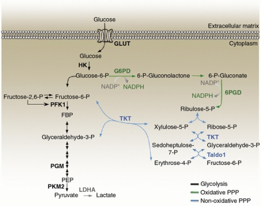 A schematic representation of the ppp and glycolysis is open i a schematic representation of the ppp and glycolysis is shown the oxidative branch of the ccuart Image collections