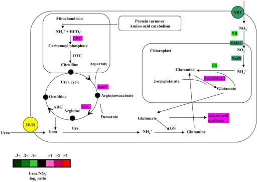 Proposed model showing the urea cycle, nitrate transport and assimilation, and the glutamine-glutamate cycle.Enzymes that are involved in these pathways are labeled with colors that indicate the fold change (log2) in their transcript levels in urea-grown cells relative to nitrate-grown cells (color code is provided in the figure). NRT, nitrate transporter; NR nitrate reductase; NAR1, nitrite transporter; NasB, NADPH nitrite reductase; GS, glutamine synthetase; Fd-GOGAT, ferredoxin-dependent glutamate synthase; CPS, carbamoyl phosphate synthase; OTC, ornithine transcarboxylase; AsuS, argininosuccinate synthase; ASL, argininosuccinate lyase; ARG, arginase; Ure, urease; DUR, urea transporter.