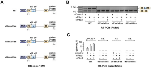 Hps1 regulation depends on u5′ss being weaker than d5′ss.(A) TRE-mini-1819 minigenes containing either a wild-type (top) or a permuted arrangement of the two 5′ss. (B) CAD cells pre-treated with indicated siRNAs were transfected with the TRE-mini-1819 constructs introduced in (A) and analyzed by RT-PCR using minigene-specific primers F1/R4. Note that the upstream 5′ splice position is constitutively used in all permuted minigene samples. (C) Utilization of the topologically downstream 5′ splice site [ψ(down)] in (B) averaged from three independent experiments ±SD.