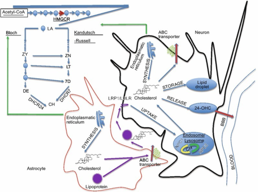 Cholesterol synthesis and metabolism in the brain. Cholesterol in neurons is primarily biosynthesized through Kandutsch-Russell pathway, whereas in astrocytes through Bloch pathway. Adult neurons essentially rely on astrocyte for cholesterol providing. Cholesterol uptake is via LRP1/LDLR receptors as apoE-containing cholesterol form. It is then converted to free cholesterol in endosome/lysosome in assistance of NPC1 and NPC2. Excess of cholesterol is prevented by intracellular esterification and storage in lipid droplets, or released as a complex with apolipoprotein-containing lipoprotein via ATP-binding cassette transporter, or converting to oxysterols then passing through BBB