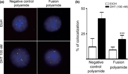 Presence of the fusion polyamide resulted in decreased androgen receptor-induced and chromosomal interactions of TMPRSS2 and ERG loci. (a, b) Following treatment of LNCaP cells with the fusion polyamide for 72 h, cells were stimulated with dihydrotestosterone (DHT) for 24 h, and FISH was performed with TMPRSS2 (green) and ERG (red) probes. (***P < 0.0001 versus negative control polyamide).