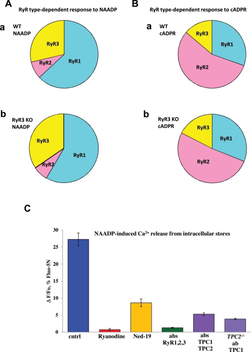 (A) Schematic distribution of RyRs type-dependent responses to 100 nM NAADP in pancreatic acinar cells from wt (a) or RyR3-KO (b) (based on knockouts and antibodies data shown in Fig. 4). (B) Schematic distribution of RyRs type-dependent responses to cADPR in pancreatic acinar cells from wt (a) or from RyR3-KO (b) (based on knockouts and antibodies data shown in Fig. 4). (C) Comparison of the relative importance of the RyRs and TPCs for the NAADP-induced Ca2+ responses in permeabilized pancreatic acinar cells. Ryanodine (100 μM) practically abolished responses to NAADP (0.71 ± 0.30%, n = 7) as compared to control (27.3 ± 1.8%, n = 12). Ruthenium Red (10 μM) also abolished responses to NAADP (0.33 ± 0.11, n = 6; not shown). Mixture of antibodies to all types of RyRs (RyR1 + RyR2 + RyR3) also dramatically reduced responses (1.27 ± 0.15%, n = 3). Specific inhibitor of NAADP-induced signalling Ned-19 has significantly reduced responses (8.6 ± 1.12%, n = 5). Mixture of antibodies to TPC1 and TPC2 reduced responses (5.3 ± 0.24%, n = 7). Antibodies to TPC1 applied to the cells isolated from TPC2 knockouts reduced responses (3.9 ± 0.27%, n = 7). Error bars show ± SEM. Cells were loaded with Fluo-5N in AM form before permeabilization.