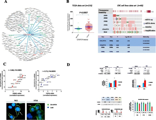 "Genome-wide expression analysis identifies CD15/FUT4 as a novel RAF-MEK-ERK kinase downstream target. a The most enriched network of CD15/FUT4 regulators is depicted comprising 20 regulons and two closely connected upstream genes involving EGFR and FGFR pathways (see Additional file 2 and Additional file 3: Figure S5 for more information). The gene expression datasets GSE17536/GSE17537 series (n = 226) were analyzed simultaneously with the ARACNe algorithm to infer transcriptional regulatory network fromgenome-wide expression profiles CD15/FUT4-connected. bCD15/FUT4 expression in CRC using patient-matched tumor-normal data available from TCGA. The P value refers to Mann–Whitney test. Expression profiles of ERBB1, ERBB2, ERBB3, FGFR4, CD15/FUT4 and KRAS mutant across a series of CRC cell lines (n = 60) by applying a fold change of gene expression microarray data of 1.5 and subdivided on the basis of chromosomal instability calculated as fraction of copy-number alteration pattern (form 0 to 0.922). Significant correlation between CD15/FUT4, ERBB3 and FGFR4 expression levels. c Linear correlation between ERBB3, FGFR4 and CD15/FUT4 transcript levels is validated in our independent series of (n = 12) CRC cell lines. Immunofluorescence labeling ""green"" of nonpermeabilize cancer cells shows differential expression of CD15/FUT4 ""arrows,"" on the cell plasma membrane of RKO and HT29, respectively. To visualize nuclei, the merged images were stained with 4'6-diamidino-2-phenylindole (Dapi), ""blue"". d CD15/FUT4-dependent transcript induction by EGF (10 nM) or IL1b (20U/ml) by using 0.1 % of DMSO as vehicle, in two representative CRC cell lines SW480 and RKO, respectively. Cells were treated for 8 h and the ratio anti-p-ERK/ERK1/2 was quantified by western-blot analysis. The treatment with IL-10 (200U/ml) or IL-6 (50 ng/ml) for 30 min revealed a significant induction of IL6-STAT1/STAT3 dependent phosphorylation in a panel of 4 CRC cell lines as detected by western-blot analysis. Mononuclear cells (Mono) purified from buffy coats of healthy donors were used as positive control for IL10-STAT3 dependent phosphorylation. CD15/FUT4 transcript did not reveal any significant induction following IL10 or IL6 at 48 h of treatment. The P value were obtained by Mann–Whitney test; *P ≤ .05; **P ≤ .01"