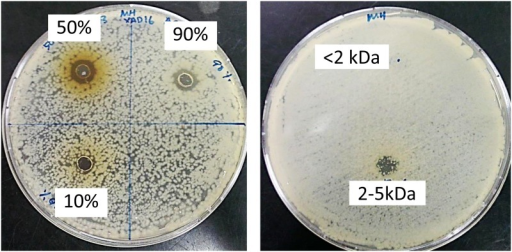 Antimicrobial assay.Antimicrobial activity of different fractions from Amberlite XAD 16 column (a) and two different fractions (< 2kDa and 2–5kDa) from Vivaspin (b).