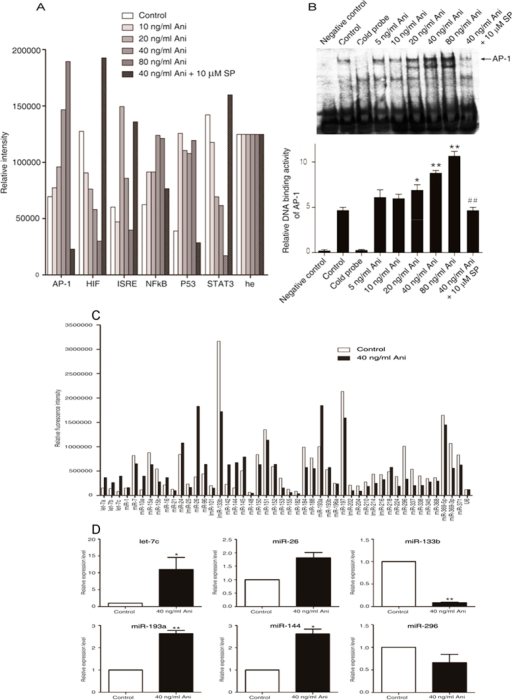 Anisomycin significantly increases the expression of miRNA let-7c in the JNK/AP-1-induced apoptosis of Jurkat T cells.Two hours after pre-incubation with 10 μM SP600125, Jurkat T cells were treated with the increasing concentrations of anisomycin for 6 h (A,B). (A) The activities of the six apoptosis-associated transcriptional factors, AP-1, HIF, ISRE, NF-κB, P53 and STAT3, were measured using the TF Reporter Plate Array. (B) AP-1 DNA binding activity was tested by the electrophoretic mobility shift assay. On the other hand, the cells were treated with or without 40 ng/ml of anisomycin for 24 h (C,D). (C) miRNA plate array analysis for 47 apoptosis-associated miRNAs was performed with the RNA extracts from the treated Jurkat T cells. (D) The real-time quantitative PCR analysis of differentially expressed six miRNAs, including miR let-7c, miR-26, miR-133b, miR-193a, miR-144 and miR-296, was performed to further validate the microarray results. More than triplicate assays were carried out for each RNA sample. For the (A,B), the data are presented as the mean ± SD of three independent experiments. *p < 0.05 and **p < 0.01 vs. the untreated control, ##p < 0.01 vs. the 40 ng/ml of anisomycin group. For the (C,D), The data are shown as the fold changes of the miRNA levels in the anisomycin-treated group relative to the control group, *p < 0.05, **p < 0.01.