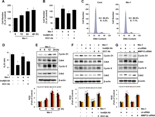 Regulatory effect of Ntn-1on stem cell proliferation.(A) hUCB-MSCs were incubated with 50 ng/mL of Ntn-1 for 48 h, and the number of cells was counted. Data represent the mean ± S.E. n = 5. *P < 0.05 vs. 0 h (B) Cells were pre-treated with DCC-function-blocking antibody (2.5 μg/mL) or a combination of Inα6- and Inβ4-function-blocking antibodies (2.5 μg/mL) for 30 min prior to Ntn-1 exposure for 24 h. Cell counting was performed. Data represent the mean ± S.E. n = 4. *P < 0.05 vs. vehicle. #P < 0.05 vs. Ntn-1 alone. (C) Cells were treated with Ntn-1 for 24 h. Gates were manually configured to determine the percentage of cells in S phase based on DNA content by using PI staining and flow cytometry. Data represent the mean ± S.E. n = 4. (D) G1/S ratios measured by flow cytometry. Data represent the mean ± S.E. n = 4. *P < 0.01 vs. vehicle. #P < 0.05 vs. Ntn-1 alone. (E) The cells were incubated in the presence of Ntn-1 for 24 h and then harvested. Total protein was extracted and blotted with Cyclin D1, CDK4, Cyclin E, and CDK2 antibodies. Data represent the mean ± S.E. n = 4. *P < 0.05 vs. 0 h. (F) The level of cell cycle proteins in cells pre-treated with DCC-function-blocking antibody (2.5 μg/mL) or a combination of Inα6- and Inβ4-function-blocking antibodies (2.5 μg/mL) for 30 min prior to Ntn-1 exposure for 24 h is shown. Data represent the mean ± S.E. n = 4. *P < 0.01 vs. vehicle. #P < 0.05 vs. Ntn-1 alone. (G) The effect of Ntn-1 on the level of cell cycle proteins in cells transfected with MMP12siRNA is shown. Cells were transfected for 24 h with specific siRNA for MMP12 prior to Ntn-1 exposure for 24 h. Non-targeting (nt) control siRNA was used as a negative control. Data represent the mean ± S.E. n = 4. *P < 0.01 vs. nt siRNA. (E–G) ROD is the abbreviation for relative optical density.