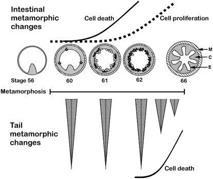 Schematic of Intestinal and Tail Cell Death and Cell Proliferation Events During Metamorphosis.Xenopus laevis metamorphosis begins when T3 levels elevate at stage 57 and terminates at stage 66 [26]. Top illustrations are of intestine cross-sections and are not to scale. Distances between stages are also not to scale. In response to T3 the intestine changes from a simple structure with one luminal fold (stage 56) to one with multiple folds in the post-metamorphic froglet following stage 66. As intestine metamorphosis begins ECM remodeling in the connective tissue (C) results in cell death (open circles) and cell proliferation (closed circles) of overlying epithelial cells (E). Bottom illustrations represent tail lengths during metamorphosis. Tail regression due to cell death begins at stage 62/63 and is complete by stage 66. Solid line = cell death, dashed line = cell proliferation. C = connective tissue, E = epithelial, M = muscle