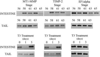 Representative RT-PCR Results of Similar MT1-MMP and TIMP-2 Levels of RNA During Natural and T3 Induced Metamorphosis.PCR products were agarose gel fractionated, stained, and photographed. MT1-MMP and TIMP-2 transcription patterns mimic each other at all stages and conditions. In the intestine, MT1-MMP and TIMP-2 transcripts are poorly detected at stage 56 prior to metamorphosis. Levels of both increase during stages 58, 61 and 63 and then drop to pre-metamorphic levels at stage 65. Conversely, in the tail, transcripts are detectable at stage 56, rise to stage 61, and then begin to drop at stage 63. T3 treatment induces a drop in levels after one day, but an increase after three days for both genes. EF1α RNA levels are shown for all comparable stages and treatments.
