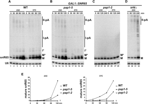 Pap1 and Trf4 Are Essential for snoRNA SynthesisTranscriptional pulse of snR65 in GAL1::SNR65 (A), GAL1::SNR65/pap1-5 (B), GAL1::SNR65/pap1-2 (C), and GAL1::SNR65/trf4Δ (D) strains. Transcription of snR65 was induced for 120–240 min as indicated. Temperature-sensitive pap1 cells were transferred to 37°C for 30 min before the pulse. RNA species are marked as in Figure 2. (E) PhosphorImager quantification of data from (A)–(C) for mature snR65. Values are standardized to the U6 control and expressed relative to levels before induction.