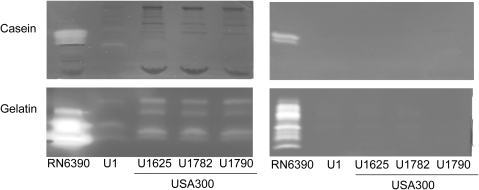 Production of extracellular proteases in USA300 isolates.Supernatants were harvested from overnight (15 hr) cultures grown in TSB (left) or biofilm medium (right) and standardized with respect to each other prior to zymographic analysis using both casein (top) and gelatin gels (bottom).