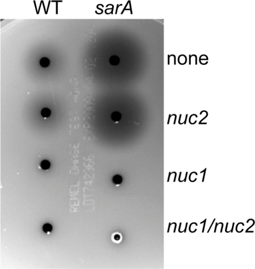 Activity of UAMS-1 nuclease genes.Nuclease activity was assessed using DNase agar in UAMS-1 (WT) and its sarA mutant and in derivatives of each of these strains carrying mutations in SA0746 (nuc1) and/or SA1160 (nuc2).