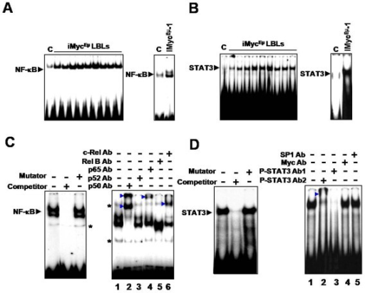 NF-κB and STAT3 are constitutively activated in LBLs and iMycEμ-1 cells. (A and B) EMSA using an NF-κB-specific probe (A) and a STAT3-specific probe (B), respectively, showing constitutive DNA-binding by NF-κB and STAT3 in LBL tumors (left panel), iMycEμ-1 cells (right panel) and control (C) C57BL/6 splenic B cells. (C) EMSA competition assay (left panel) demonstrating specificity of NF-κB probe. Right panel shows a super-shift assay for NF-κB, using antibodies (Abs) specific for the denoted subunits. Asterisks denote non-specific bands that are covered by the super-shifted bands in lanes 2 and 6. (D) Competition (left panel) and super-shift (right panel) assays for STAT3. Competitor is an unlabelled oligonucleotide probe, and mutator is an unlabelled probe with a mutation that abrogates DNA-binding. P-STAT3 super-shift Abs are both specific for phosphorylated STAT3 at Tyr-705; Ab 1 is sc-7993X and Ab 2 is sc-8059X. SP1 and Myc Abs were used as negative controls. Arrowheads denote shifted bands. Images are representative, and image splicing was carried out only for the same experiment, the same gel and the same exposure times.