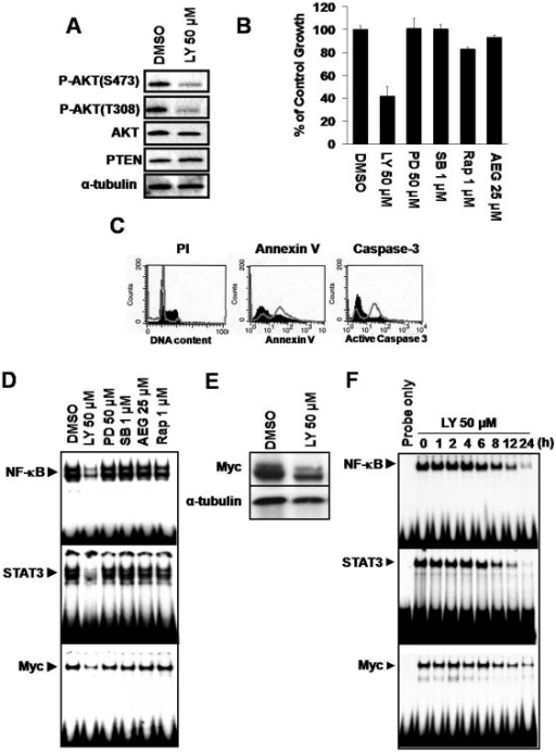 PI3K inhibition diminishes NF-κB, STAT3 and Myc activity in iMycEμ-1 cells, and reduces their proliferation and survival. (A) Western blot showing the levels of total AKT, PTEN and phosphorylated AKT (S473 and T308) after treatment with LY294002 (LY). α-tubulin was used as a loading control. (B) MTS/PMS assay after treatment with vehicle control, LY, PD98059 (PD), SB203580 (SB), rapamycin (Rap), or AEG 3482 (AEG) at the indicated concentrations. Data were normalized to DMSO-treatment controls, and error bars represent the standard deviation from a representative experiment performed in triplicate. (C) Representative FACS analyses on LY- (open grey histogram) or DMSO- (filled black histogram) treated cells showing an increase in sub-G0/G1 DNA, as assessed by propidium idodide (PI) staining (left panel), and apoptosis as assessed by increases in both Annexin V (middle panel) and activated caspase 3 (right panel) staining. (D) EMSA showing reduced DNA-binding activity of NF-κB, STAT3 and Myc after treatment with LY, but not PD, SB, AEG or Rap. (E) Western blot demonstrating reduced Myc protein levles after inhibition of PI3K; α-tubulin served as a loading control. (F) NF-κB, STAT3 and Myc DNA-binding activity is reduced in a time-dependent manner after PI3K is inhibited with LY. The incubation time with small-molecule inhibitors was 24 hours unless otherwise indicated.