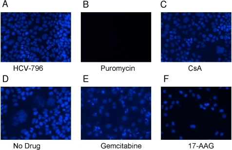 Visual assessment of replicon cell number and morphology after 1 µM compound treatment.Hoechst-stained nuclei were visualized after treatment for three days with the following molecules: (A) the HCV polymerase inhibitor HCV-796, (B) the ribosomal inhibitor puromycin, (C) the cyclophilin inhibitor CsA, (D) the microtubule inhibitor colchicine, (E) the anti-metabolite gemcitabine, and (F) the HSP90 inhibitor 17-AAG.