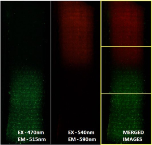 Fluorescent-labeled FB (green) and OB (red) on the PLA scaffold form distinct tissue-specific regions at 6 h. The two images using the CellTracker Green and CellTracker Orange probes separately were merged to show how the cells are seeded on the entire scaffold. Image consists of approximately 200 images at 4× magnification stitched together. Scaffold size is 10 mm wide × 60 mm long. The merged image on the right shows the approximate 10 mm × 20 mm areas for FB, OB, and transition regions.FB: fibroblast; OB: osteoblast; PLA: poly-l-lactic acid.