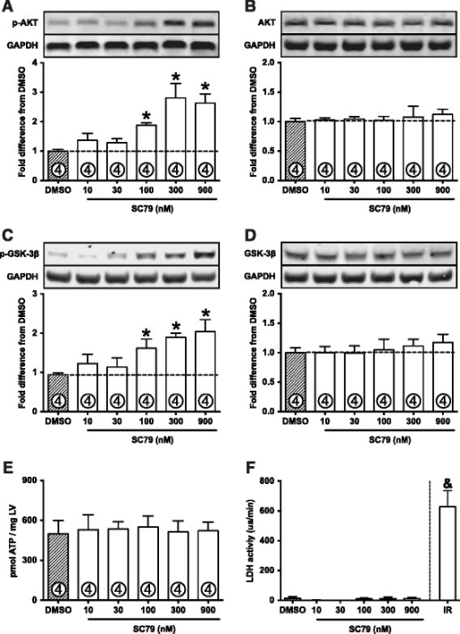 "SC79 activates cardiac AKT.A: Dose–response experiment in normoxic perfused hearts treated with DMSO or SC79. SC79 activates AKT in a dose-dependent fashion, as demonstrated by phosphorylation at serine 473. B: Total AKT expression is not changed by SC79. C: Phosphorylation of GSK-3β at serine 9 (AKT-phosphorylated site). D: Total expression of GSK-3β. E: ATP levels are preserved in SC79-perfused hearts. F: LDH activity was not detected in SC79-treated hearts. Perfusion buffer from hearts submitted to ischemia-reperfusion (IR) were used as positive control for the LDH activity experiment. ""ua/min"", units of absorbance per minute. Data are shown as mean ± standard error (SE). *, p < 0.05 vs. DMSO; &, p < 0.05 vs. all other groups."