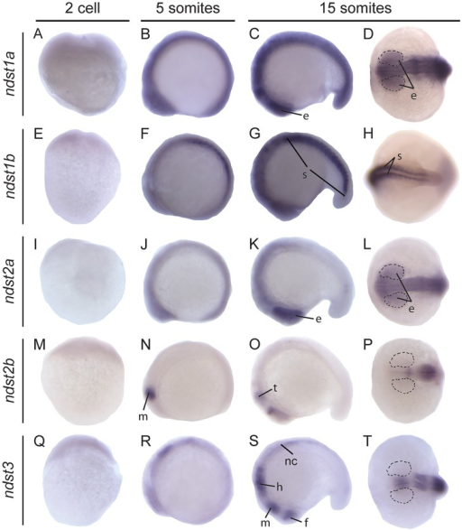 Expression of zebrafish ndst genes at early developmental stages.Lateral view of embryos at 2 cell, 5 somite and lateral and dorsal view of embryo head (D, L, P, T) or tail at 15 somite stage, respectively. Expression of ndst1a: A-D; ndst1b: E-H; ndst2a: I-L; ndst2b: M-P; ndst3: Q-T. Areas of the developing eye are marked with dotted lines. Abbreviations used: e, eye; f, forebrain; h, hindbrain; m, midbrain; nc, neural crest; s, somites; t, tectum.