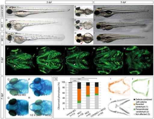 Morpholino knockdown of zebrafish ndst1b results in craniofacial cartilage defects at the early stages of development (3–7 dpf).Lateral and ventral view of a zebrafish larvae at 3 dpf injected with either control MO mix (A-B), MO1 (D-E) or MO2 (G-H) in combination with p53 MO (see Experimental Procedures). The black arrows point at the underdeveloped craniofacial cartilage of ndst1b morphants, while the red arrow heads point at the pectoral fins of the morphants, shortened in comparison to fins of the control larvae. At 5 dpf, the effects of the ndst1b MOs on zebrafish larvae were still visible. ndst1b MO treated larvae had shortened pectoral fins and body axis, smaller head and eyes, underdeveloped craniofacial cartilage and no swimming bladder (C,F,I). Confocal microscope images present a ventral view of Tg(fli1:EGFP) zebrafish larvae. GFP is expressed in endothelial and neural crest derived cells. Morphants displayed severe malformations in the pharyngeal cartilage structures (K, L) in comparison to control larvae (J). In contrast, chondrocyte stacking and flattening does not appear to be strongly affected, as compared to extl3-/- and ext2-/- mutant embryos (M-N) with clear chondrocyte stacking defects. The second pharyngeal arch (the ceratohyal), incorrectly localized in the ndst1b morphants, is indicated with a white arrow head (J-L). The incorrect localization is also seen after alcian blue staining of 7 dpf larvae injected with MO1, MO2 and half working dosage of these two combined (1/2 X (MO1 + MO2); O-R). Panel S of the figure represents quantification in percentage of the ceratohyal phenotype at day 6 of the development in phenotypic classes observed (chi-square test: *** p<0.001 comparing affected and nonaffected embryos). Confocal microscope images of the Tg(1.7col2a1a:mEGFP) fish (1–3) show the difference between reverted (1), perpendicular (2) and non-affected ceratohyals.