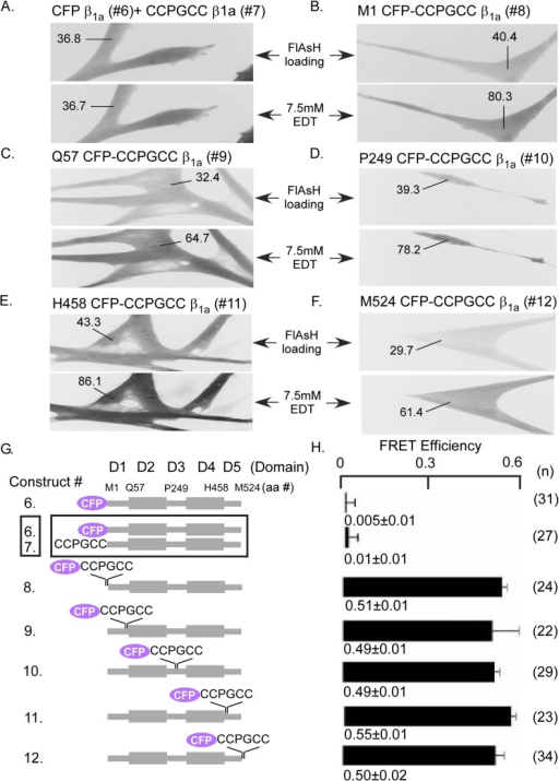 FRET signals from ß1a subunits incorporating the CFP-CCPGCC concatamer in different domains or doubly transfected CFP and CCPGCC tags expressed in WT myotubes.(A) Myotubes co-transfected with CFP- ß1a (construct 6) and CCPGCC- ß1a (construct 7), constructs demonstrate unchanged FRET efficiency after FlAsH clearance with 7.5 mM EDT indicating that ß1a intermolecular interactions do not contribute to FRET in the present study. Myotubes individually transfected with the CFP-CCPGCC concatemers (B) M1 CFP-CCPGCC ß1a (construct 8), (C) Q57 CFP-CCPGCC ß1a (construct 9), (D) P249 CFP-CCPGCC ß1a (construct 10), (E) H458 CFP-CCPGCC ß1a (construct 11) or (F) M524 CFP-CCPGCC ß1a (construct 12) show ~2 fold FRET efficiency after FlAsH clearance with 7.5mM EDT. The numbers indicated represents the fluorescence intensity of the region in the myotubes before and after FlAsH clearance with EDT for FRET measurements. (G) Schematic diagrams of tagged ß1a constructs (constructs 6 to 12) that were used to assess the accessibility of FlAsH to tertracycteine tags incorporated in different domain of ß1a. (H) Comparison of the FRET efficiencies for different ß1a constructs (constructs 6 to 12) expressed in WT myotubes that shows in panel A to G with number of tested cells for each group in parentheses. Mean FRET efficiencies ± standard errors are shown.