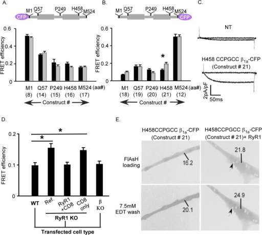 Intramolecular FRET in the ß1a subunit depends upon donor-acceptor position and RyR1 expression.(A) FRET efficiencies for ß1a subunit constructs in myotubes when CFP donor was located at the N-terminus and CCPGCC acceptor site was tested at five different positions of ß1a labeled M1 (construct 8), Q57 (construct 14), P249 (construct 15), H458 (construct 16) and M524 (construct 17), as indicated in schematic above bar graphs. (B) FRET efficiencies for same ß1a subunit constructs in myotubes except the CFP donor was located at the C-terminus (construct 12, 18, 19, 20 and 21). For both panels A and B the ß1a constructs were expressed in wild type (black) or RyR1 KO (gray) myotubes. Only the construct H458-CCGPCC ß1a-CFP (construct 21) displayed significant difference FRET efficiency (*p<0.001) in the presence (in WT 0.12 ± 0.01) versus absence (in KO 0.19 ± 0.01) of RyR1 (in Table 1 boxed). (C) Ca2+ current expression at test potentials of –30 mV and +30 mV in ß1 KO myotubes expressing H458-CCGPCC ß1a-CFP (construct 21) compared to non-transfected (NT) ß KO control which demonstrates that this construct forms functional ß subunits. (D) Comparison of FRET efficiency of H458 CCPGCC ß1a-CFP (construct 21) transfected in either WT or dyspedic myotubes. Transfection of RyR1 into dyspedic myotubes eliminated the increase in FRET observed in the absence of RyR1. The RyR1 expression marker (CD8) or the presence of endogenous ß1a subunits has no effect on the measured FRET efficiencies. The FRET efficiency of construct 21 was 0.12 ± 0.01, when it was transfected in either wild type (WT) or ß KO or RyR1 KO cells in presence of RyR1 + CD8 plasmids (triple transfected). Additionally a comparable FRET efficiency observed in RyR1 KO cells between construct 21 alone (0.19 ± 0.01) and construct 21 with CD8 plasmid co-transfection (0.18 ± 0.01), which was significantly higher than the WT (*p<0.001; see results in Table 1) (E) Expression and intramolecular FRET of H458CCPGCC ß1a- CFP alone and co-transfected with RyR1 in dyspedic myotubes with the number represents the fluorescence intensity of the region in the myotube and the arrow indicated CD8 beads.