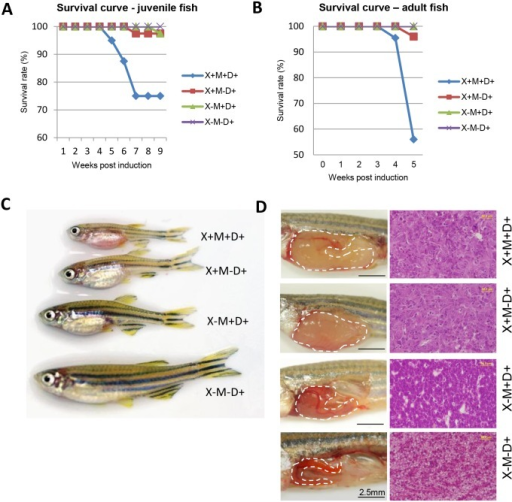 Synergistic effect of Myc and xmrk oncogenes in transgenic zebrafish survival and liver tumorigenesis.(A,B) Survival curve (A) and gross morphology (B) of oncogene transgenic zebrafish following doxycycline induction at the juvenile stage (starting from 21 dpf). (C) Survival curve of oncogene transgenic zebrafish following doxycycline induction at the adult stage (starting from 3.5 mpf). (D) Gross observation of liver phenotype (left) and histological sections of livers stained by hematoxylin and eosin dyes (right). Abbreviations: X,xmrk; M,Myc; D, doxycycline treatment.