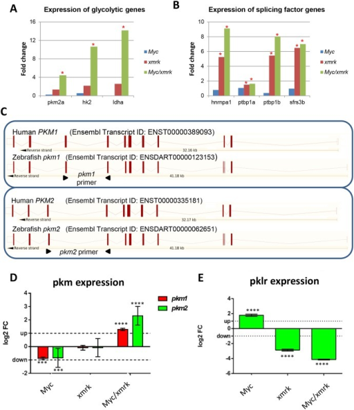 Expression of Warburg effect genes.(A) Expression of glycolytic genes in Myc, xmrk and Myc/xmrk tumors. (B) Expression of glycolytic genes splicing factors in Myc, xmrk and Myc/xmrk tumors. Asterisks indicate significantly changed genes (fold change>1.5, P<0.05). (C) Schematic comparison of genomic structure of human and zebrafish PKM1/pkm1and PKM2/pkm2 isoforms. The primers used for RT-qPCR are indicated by arrowheads. (D) RT-qPCR quantification of zebrafish pkm1 and pkm2expression in three tumor samples as compared with non-tumor controls. ***P<0.001; ****P<0.0001. (E) RT-qPCR quantification of pklr expression in three tumor samples as compared with non-tumor controls. ****P<0.0001.