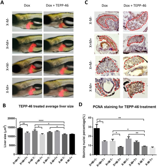 Suppression of growth of oncogenic livers in Myc/xmrk double transgenic larvae by Pkm2 activation.10 μg/ml TEPP-46 was used to treat zebrafish larvae from 4 dpf for 96 hours and 2D liver size was measured by using ImageJ (1.49J) and cell proliferation on cryosections were examined by immune-staining of PCNA. (A,B) Changes of 2D liver size. Representative images from each group are shown in (A) and quantification of 2D liver size is presented in (B). (C,D) Immunostaining of PCNA for cell proliferation. Representative images in the liver area from each experimental group are shown in (A) and quantification of PCNA positive cells as percentage of liver cells is presented in (B). Group designations: X for xmrk, M for Myc, and T for TEPP-46. + and—indicate presence and absence respectively. All groups also received 30 μg/ml doxycycline in the experimental duration (4–8 dpf). Statistical significance was examined by unpaired student t test. *P<0.05; **P<0.01; ****P<0.0001.