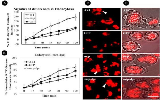 The rate of endocytosis increased in cells over-expressing Acmcp or Acmcp-dpr versus control cell lines. Data are presented as relative fluorescence to WT, which is considered 100%. (A and B) Significant differences are shown in endocytosis rates. Cells expressing Acmcp and Acmcp–dpr over 120 minutes loaded with RITC- dextran showed significant differences in the rate of endocytic uptake. (C) The vesicles of the early endocytic system from endosome to lysosome were shown in red by visualization of RITC-dextran after 60 minutes of treatment. There does appear to be a difference for RITC-dextran in cell lines that express Acmcp and Acmcp–dpr mutant (indicated by arrows) compared to the controls. (D) Overlaid images of bright field with visualization of red RITC-dextran in Acmcp and Acmcp-dpr mutant cell lines show an increase in uptake of RITC-dextran compared to the WT and pDneo2a-GFP