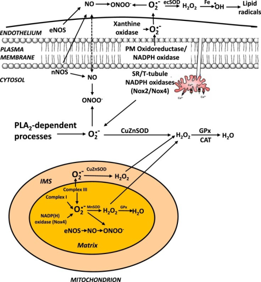 Updated working scheme for sites of ROS/reactive nitrogen species (RNS) generation by skeletal muscle demonstrating the potential role of Nox2 and Nox4 isoforms of NADPH oxidase in generating superoxide in mitochondria and cytosol and acknowledging the lack of evidence for any release of superoxide from mitochondrial during contractile activity. NO, nitric oxide; ONOO−, peroxynitrite; ecSOD, extracellular SOD; eNOS, endothelial NO synthase; nNOS, neuronal NO synthase; PLA2, phospholipase A2; GPx, glutathione peroxidase; CAT, catalase; IMS, intermembrane space. [Modified from Jackson (33).]